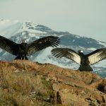 Condor torres del paine