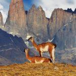 vicuñas torres del paine